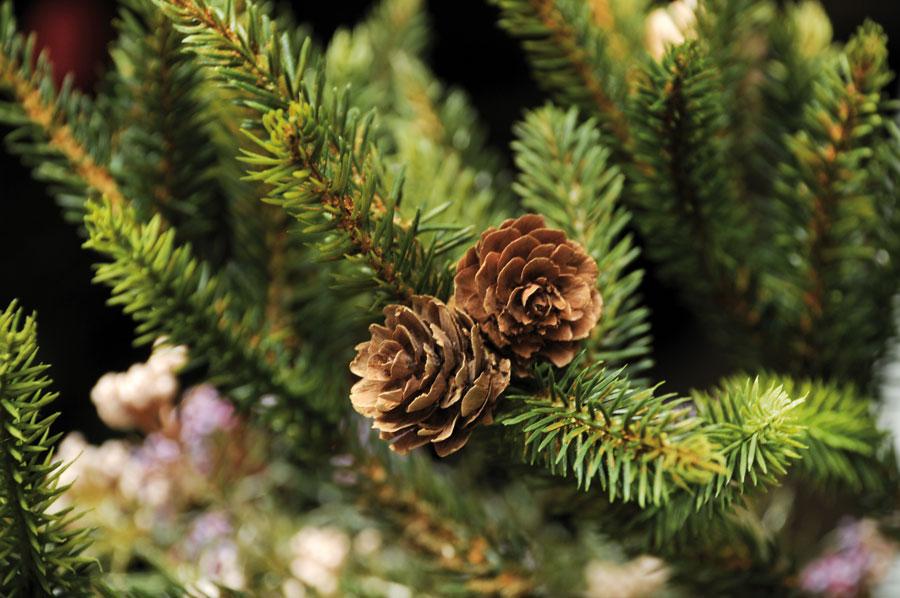 Alassio green il comune ritira i pini natalizi usati - Rami decorativi natalizi ...
