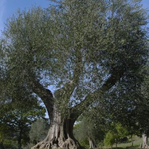 Liguria rimane xylella free: 1.668 campionamenti nell'area cuscinetto e 437 nella piana di Albenga