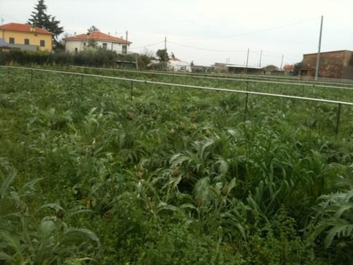 Furto di carciofi ad Ortovero: caccia al sospetto