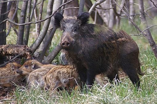 """CIA Savona: """"Danni da selvatici, occorre riformare la legge sulla caccia"""""""
