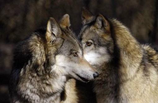 """Albenga, proiezione del documentario """"I miei lupi"""""""