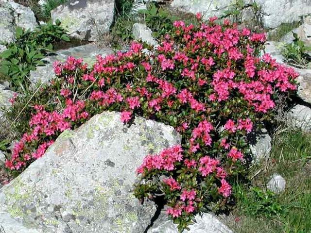 Osiglia escursione alla scoperta del rododendro rosso for Rododendro pianta