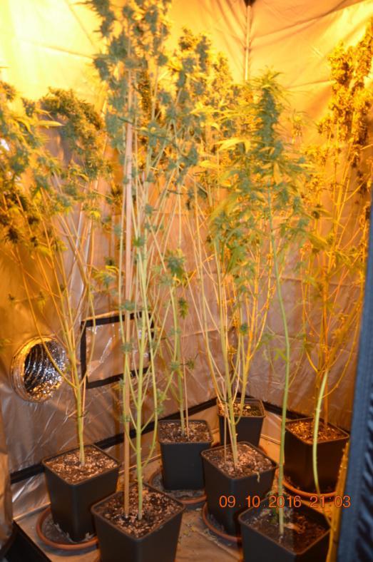 Cairo, coltiva marijuana nella camera da letto: in manette un ...