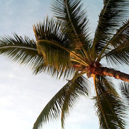 Loano, al via la piantumazione di 21 nuove palme sulla passeggiata a mare
