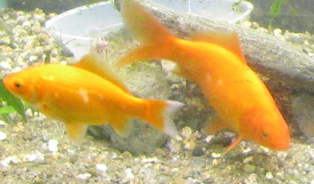 Urbe 30 pesci rossi cercano una nuova casa for Pesci rossi in giardino