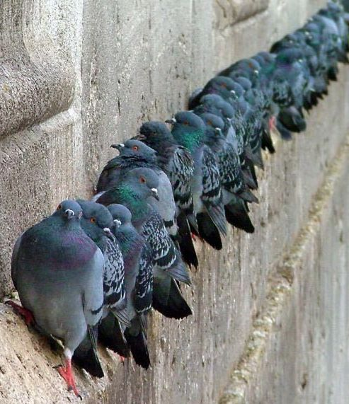 I piccioni il piccione da carne - Uccelli che sbattono contro le finestre ...