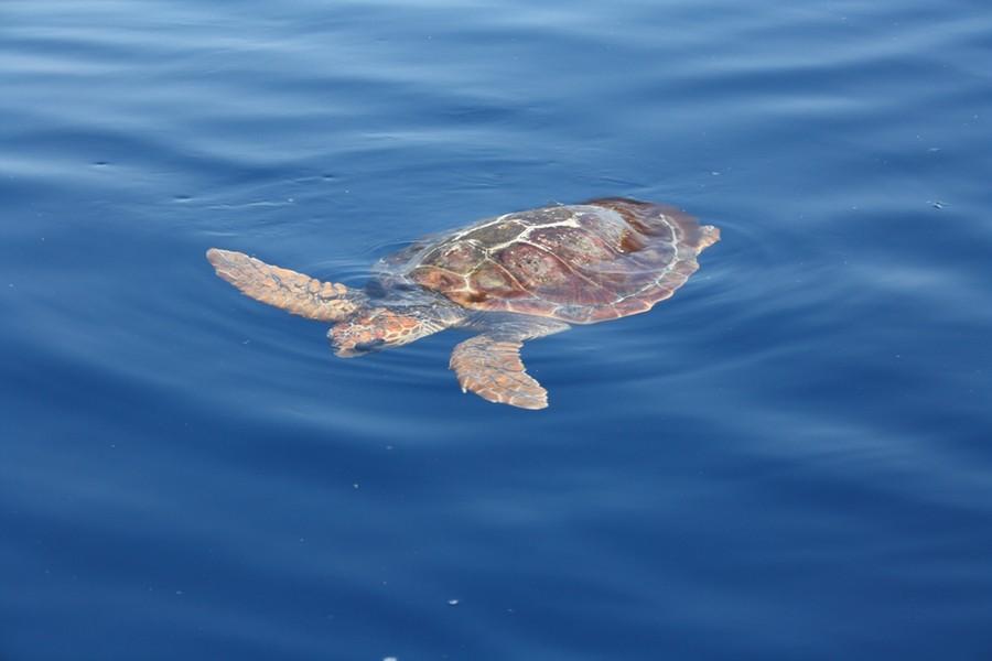 Liberata in mare la tartaruga savona for Tartaruga da acquario
