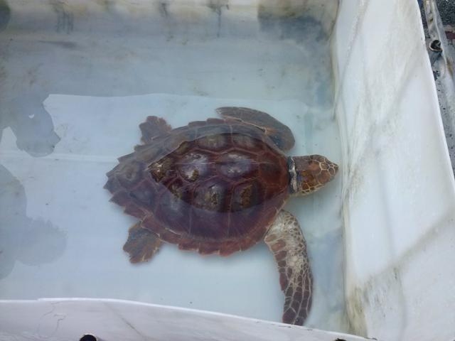 Capitaneria di porto tartaruga caretta consegnata ai for Tartaruga da acquario
