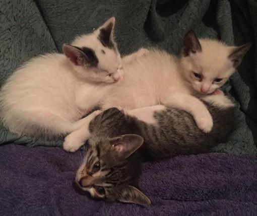 Giusvalla, tre gattini cercano casa: l'appello dell'Accademia Kronos