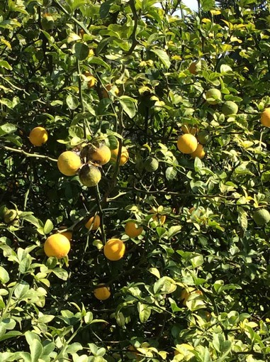 """Savona, """"Mare di Agrumi: vitamine per l'agricoltura e il turismo"""""""