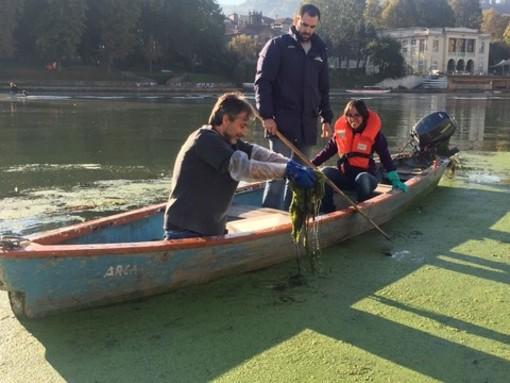 Dalla Liguria al Po per annientare l'alga tropicale