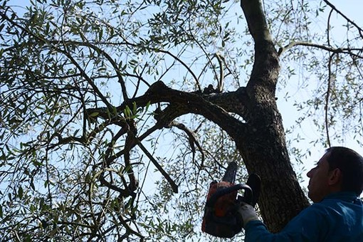 Testico:  giornata informativa dedicata alla potatura e alle patologie dell'ulivo