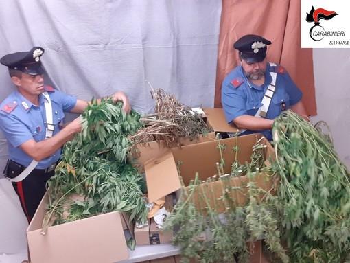 Carabinieri scoprono una coltivazione di marijuana: arrestato operaio 48enne di Albisola