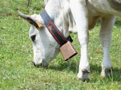 """A Cairo Montenotte si festeggia il mondo della carne, Coldiretti: """"Più di 100 allevamenti di bovini piemontesi in provincia di Savona"""""""