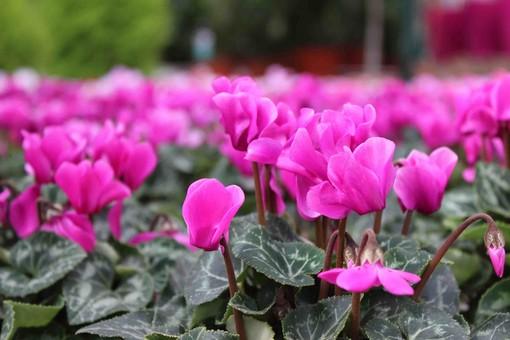 """Il 3° """"Garden Festival di Autunno"""" sostiene la campagna AIRC per il """"Nastro rosa"""""""