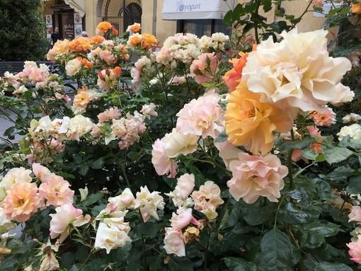 Albenga, per la Festa della Mamma in vendita i fiori ingauni con Fondazione ANT