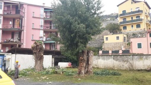 Finalborgo, abbattuti i grandi eucalipti presso l'ex colonia Rivetti