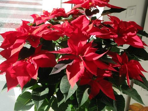 Dal 6 all'8 dicembre le stelle di Natale pro-Ail dell'Associazione Nazionale Carabinieri di Finale Ligure