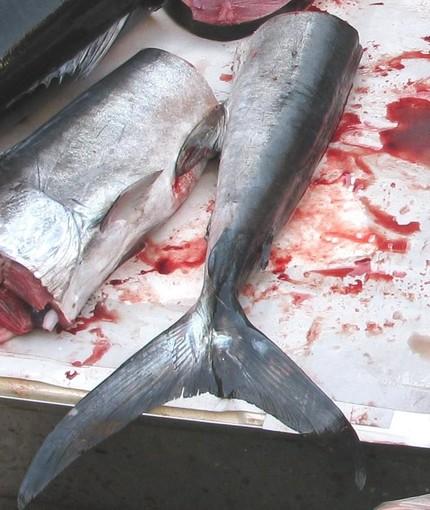 Sospesa per legge la pesca ricreativa del tonno rosso