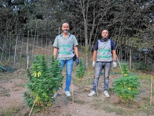Varazze, individuata una piantagione di marijuana: due savonesi arrestati dalla Finanza