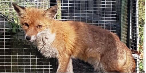 Caccia chiusa, l'Enpa rimette in libertà gli animali soccorsi (FOTO e VIDEO)
