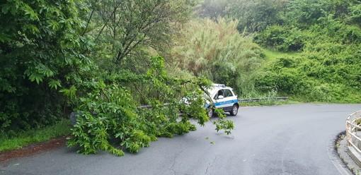 Celle Ligure, crolla una pianta in via Sanda: sul posto la polizia locale