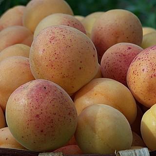 Ladri di albicocche in Val Maremola: razziati oltre 40 kg di frutta