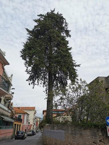 """Borghetto, il grande cipresso di via Marexiano sarà abbattuto. Sindaco Canepa: """"La base del tronco diventerà un'opera d'arte"""""""