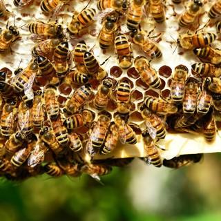 """Coldiretti: """"Clima pazzo mette a rischio la produzione di miele"""""""