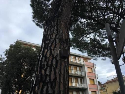Celle, pino pericolante in via Colla: intervento dei vigili del fuoco