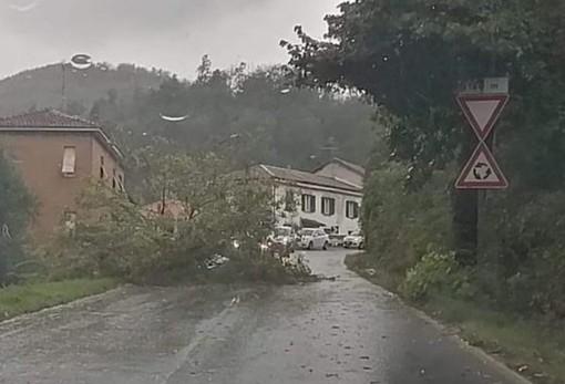 Cosseria, albero caduto sulla Sp 28bis in località Marghero (FOTO)