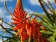 Molti pensano che l'Aloe vera sia la specie più pregiata, ma recenti studi hanno scoperto altro