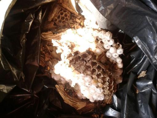 È allarme vespa velutina in provincia di Savona
