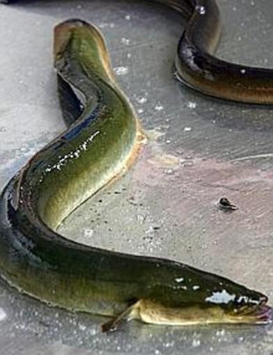 Anche in Liguria si tornerà a pescare l'anguilla