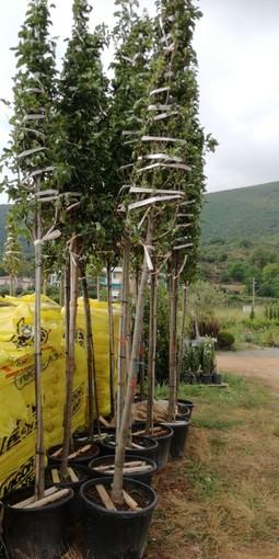 Finale Ligure: oggi la piantumazione di 15 alberi in via Dante