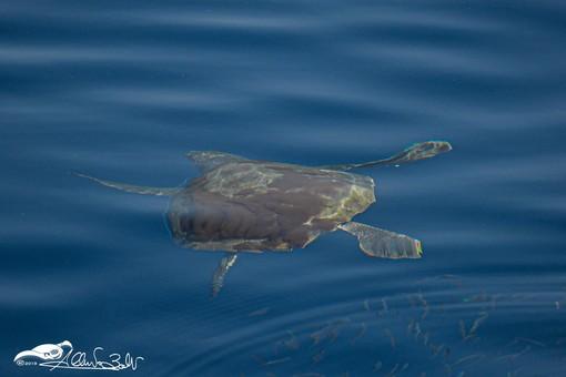 Giovanni Busè continua ad avvistare e immortalare la fauna marina al largo di Alassio (FOTO)
