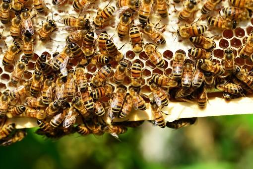 'Ogni ape conta': arriva il progetto di Coop Italia per proteggere le api e favorire la biodiversità