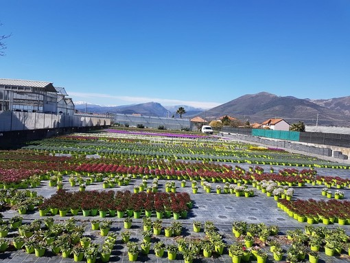 """Albenga, Ceriale, Villanova e Cisano unite: """"Servono misure particolari per la tutela del settore del florovivaismo della Piana"""""""