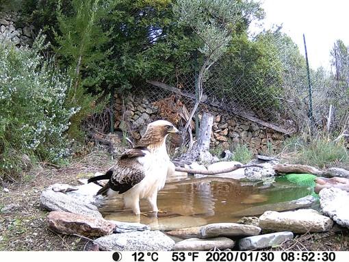 Il CEA Finale Natura e i birdwatchers testimoniano la presenza della rara Aquila Minore nel Finalese