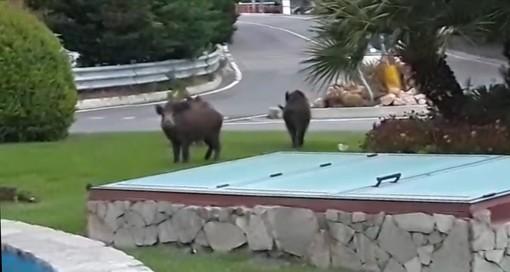 Cinghiali a spasso ad Alassio: tre ungulati alla fontana (VIDEO)