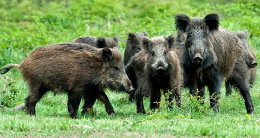 Aumento della fauna selvatica: da Celle Ligure una serie di proposte per arginare il fenomeno