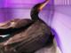 Roccavignale, cormorano soccorso dai volontari dell'Enpa (FOTO)