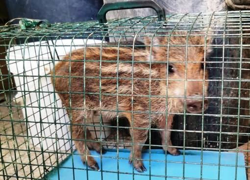 Enpa, cucciolo di cinghiale debilitato dalla fame soccorso ai margini di un bosco ad Altare
