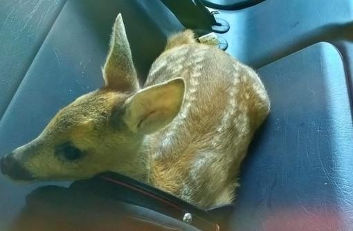 """Cucciolo di capriolo sul sedile della """"gazzella"""": il curioso salvataggio dei carabinieri di Cairo"""
