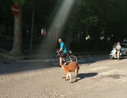 Savona, il canguro Tom a spasso in piazza del Popolo tra lo stupore dei passanti (FOTO e VIDEO)