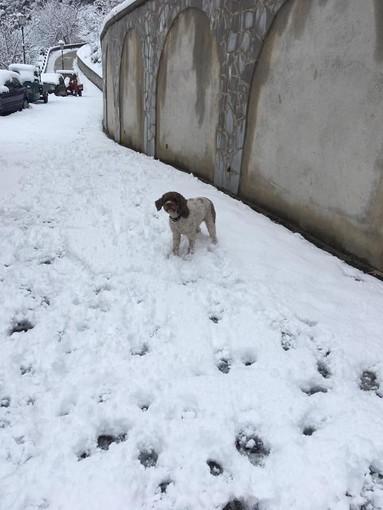 Esemplare di cane di pura razza lagottino cerca casa