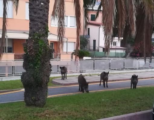 A spasso per Spotorno: avvistati 4 cinghiali in zona Maremma (FOTO)