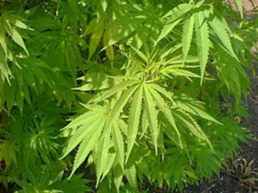 """""""Cannabis terapeutica: storie di medici e di pazienti"""". Se ne parla a Cairo Montenotte"""