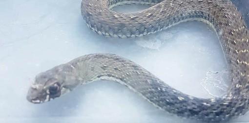 Savona, serpente compare in una casa di via Buozzi: mobilitati Enpa e vigili del fuoco