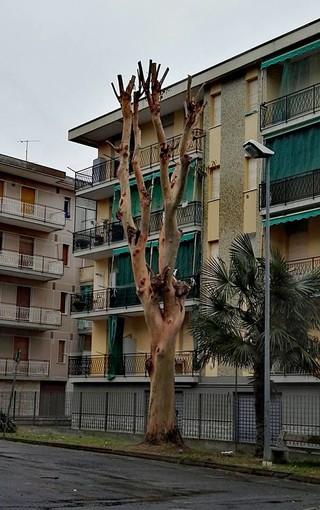 La bella storia dell'eucalipto di Borghetto Santo Spirito